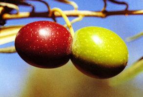Clasificari ale uleiului de masline