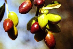 Despre cultura de  maslini